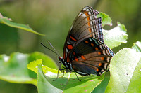 Red-spotted Purple (Limenitis arthemis) Butterfly