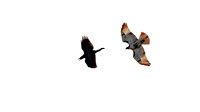 Common Raven (Covus corax) chased by Red-Tailed Hawk (Buteo jamaicensis)