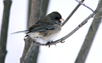 Dark-eted Junco