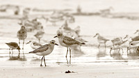 Black-bellied Plovers with Sanderling & Dunlin