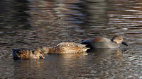 Gadwall (Anas strepera) (two females and a male)