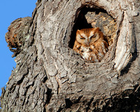 Red-phase Eastern Screech-Owl