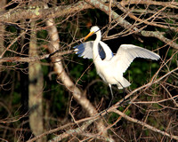 Great Egret carrying a stick