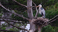 Great Blue Heron (rdea herodias)