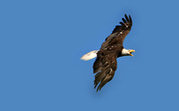 Bald Eagle Flight Sequence