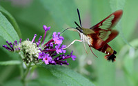 Hummingbird Clearwing Moth (Hemaris thysbe), Olive/Burgundy