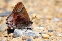 Frosted Elfin (Callophrys irus)