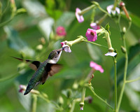 Ruby-throated Hummingbird on Nicotiana