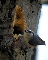 Red-breasted Nuthatch Building a Nest