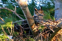 Nesting Great Horned Owl ... at sunset