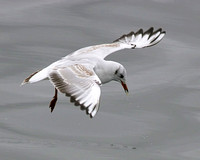 Black-headed Gull Flight Shot