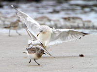 Black-bellied Plover & Sanderling being assulted by a Ring-billed Gull