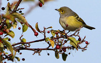 White-eyed Vireo (first year)