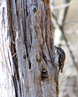 Brown Creeper building a nest