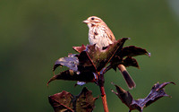 Savannah Sparrow, Song Sparrow or hybrid?