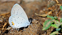 Eastern Tailed-Blue (Everes comyntas) ... passing water