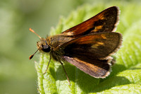 Tawny-edged Skipper (Polites themistocles)