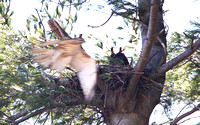 Nesting Great Horned Owl ... Oh, its only you!