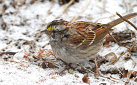 Molting White-throated Sparrow