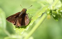 Dun Skipper (Butterfly)