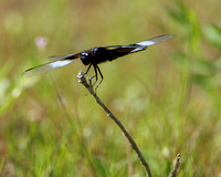 Eastern White-tail Dragonfly
