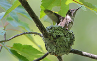Ruby-throated Hummingbird ... Preparing to Fledge