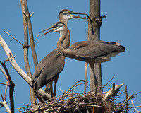 Great Blue Heron Nest with Young