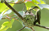 Ruby-thraoted Hummingbird Nestlings
