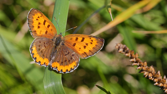 Bronze Copper (Lycaena hyllus)