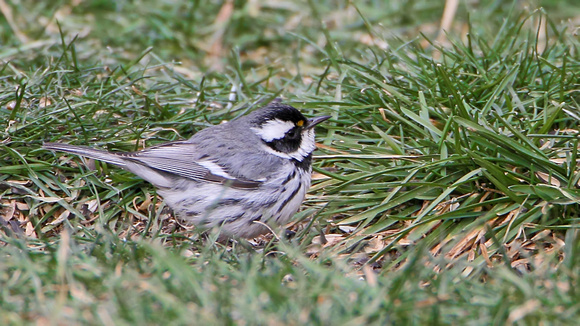 Black-throated Gray Warbler (Setophaga nigrescens), first year/winter male