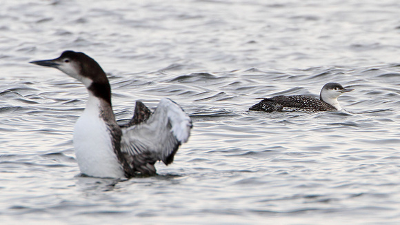 Common Loon (Gavia immer) and Red-throated Loon aka Red-throated Diver (Gavia stellata)