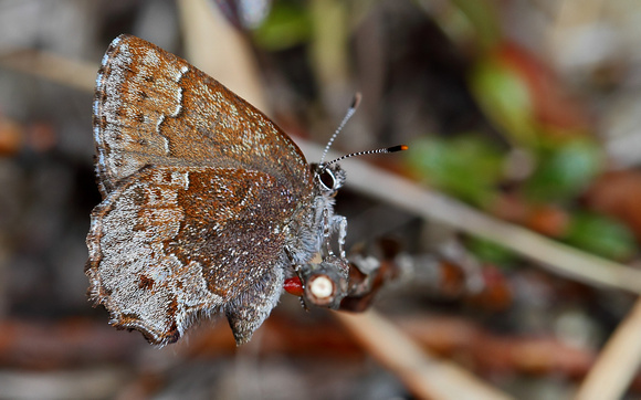 Hoary Elfin (Callophrys polia) or Frosted Elfin Hybrid?  Hoary!