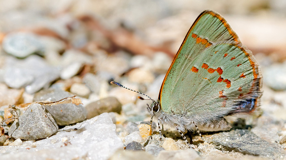 Early Hairstreak (Erora laeta), with a peek at its blue back, spotted by Greg and Bruce