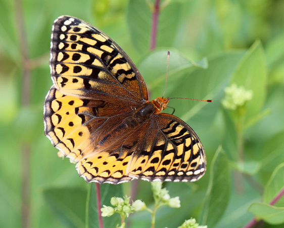 Great Spangled Fritillary (Speyeria cybele) similar to Great Basin form