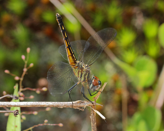 Blue Dasher (Pachydiplax longipennis) Dragonfly, female obelisk-like posture