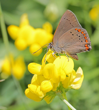 Coral Hairstreak (Satyrium titus) Butterfly