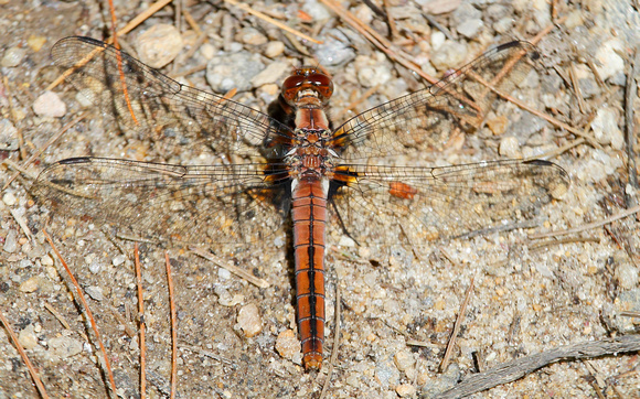 Chalk-fronted Corporal Dragonfly (Libellula (Ladona) julia), female