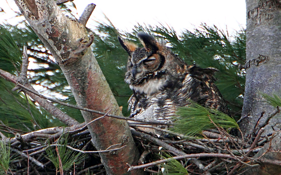 "Great Horned Owl ... also known as ""Tiger Owl"""