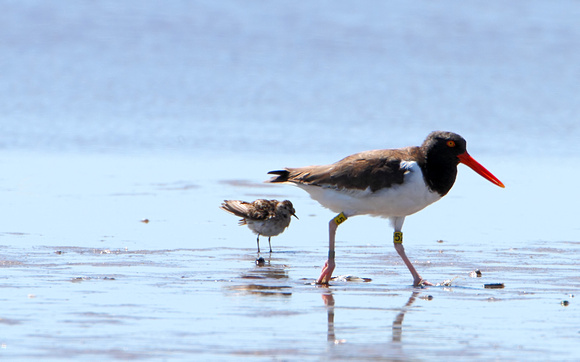American Oystercatcher with Least Sandpiper