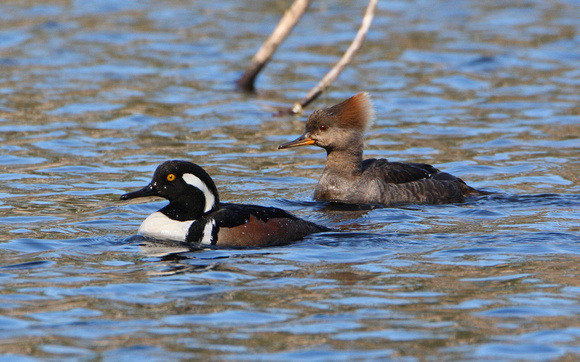 Hooded Merganser, Male & Female
