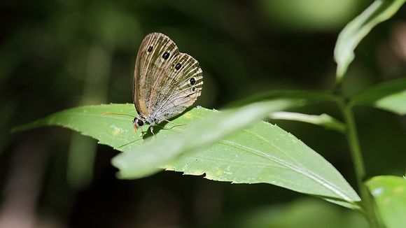 Little Wood Satyr (Megisto cymela)