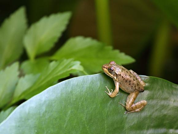 Backyard Frogs bruce degraaf | 2011/06-07 backyard frogs | green frog tadpole