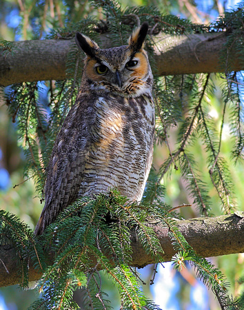 Great Horned Owl (adult)