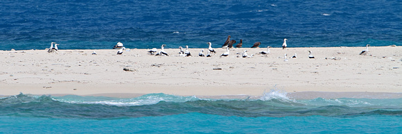 Masked Booby Nesting at the Dry Tortugas