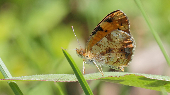 Pearl Crescent Butterfly (Phyciodes tharos), female