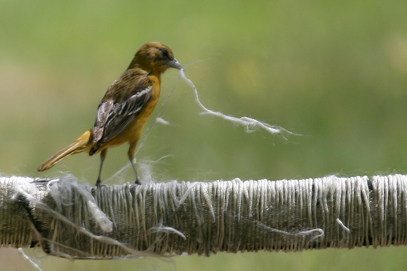 Baltimore Oriole (female) Gathering Nesting Materials