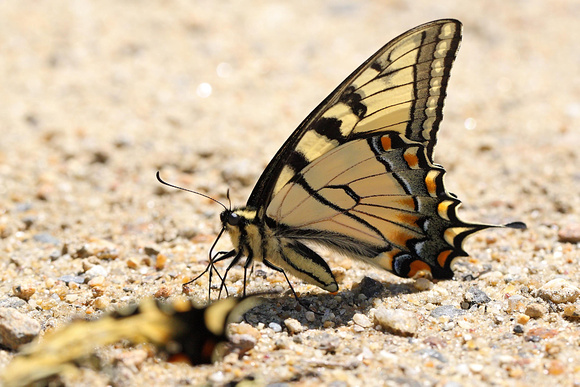 Canadian Tiger Swallowtail (Papilo canadensis)