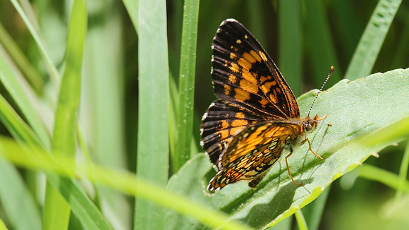 Harris's Checkerspot Butterfly (Chlosyne harrisii)