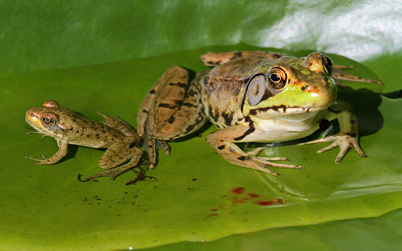 Backyard Frogs bruce degraaf | 2011/06-07 backyard frogs | green frog juvenile with