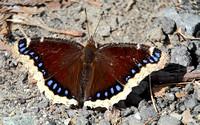 Mourning Cloak (Nymphalis antiopa) Butterfly